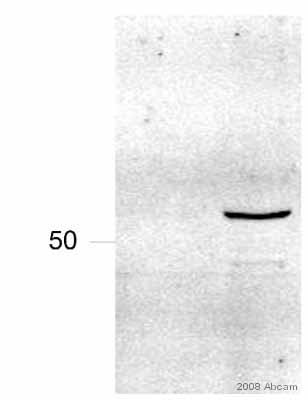 Western blot - TAB1 antibody (ab27983)