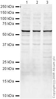 Western blot - Suppressor of Fused antibody (ab28083)