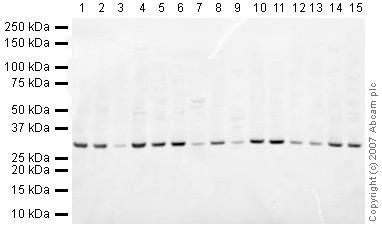 Western blot - Prohibitin antibody - Mitochondrial Marker (ab28172)