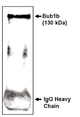 Immunoprecipitation - BubR1 antibody (ab28192)