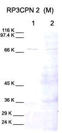 Western blot - Calpain 2 antibody - Domain IV (ab28259)
