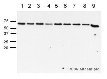 Western blot - Smad3 antibody (ab28379)