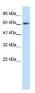 Western blot - ZNF499 antibody (ab28460)