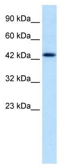 Western blot - DLX2 antibody (ab28461)