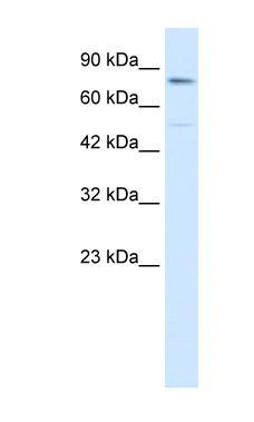 Western blot - ZNF341 antibody (ab28485)
