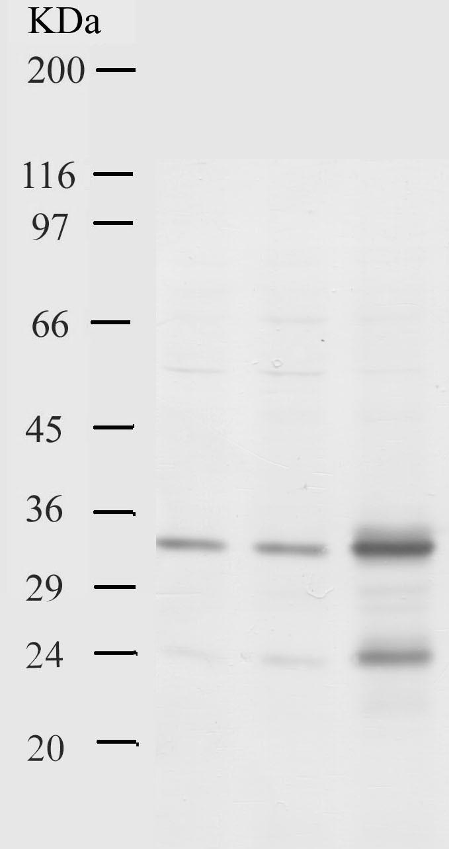 Western blot - Kallikrein 15 antibody - Kallikrein loop (ab28570)