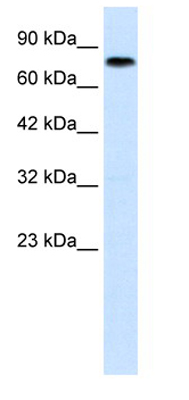 Western blot - ZNF167 antibody (ab28681)