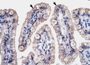 Immunohistochemistry (Paraffin-embedded sections) - HMG4 antibody (ab28727)