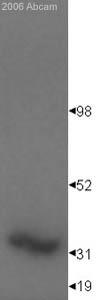 Western blot - EN2 antibody (ab28731)