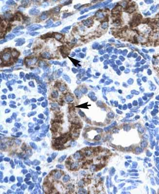 Immunohistochemistry (Paraffin-embedded sections) - EN2 antibody (ab28731)