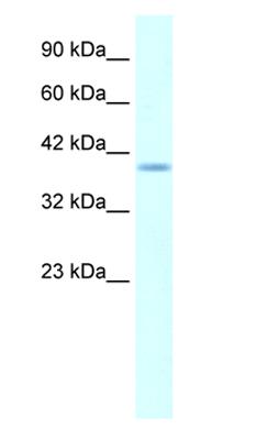 Western blot - HMX1 antibody (ab28733)