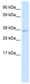 Western blot - MXI1 antibody (ab28740)