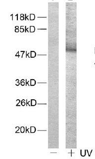 Western blot - ATF2 (phospho T71 or 53) antibody (ab28812)