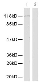 Western blot - NFkB p105 / p50 (phospho S337) antibody (ab28849)