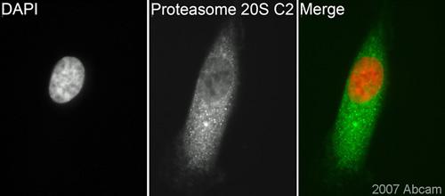 Immunocytochemistry/ Immunofluorescence - Proteasome 20S C2 antibody (ab3325)