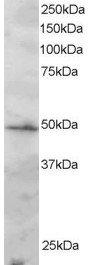 Western blot - Anti-IRF2 antibody (ab3388)