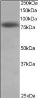 Western blot - HEC1 antibody (ab3393)