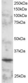 Western blot - BOB1 antibody (ab3426)