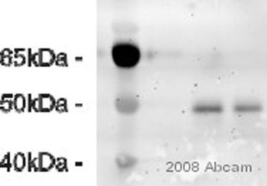 Western blot - EBP50 antibody (ab3452)