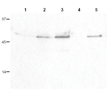 Western blot - Cyclin B1 (phospho S126) antibody (ab3488)