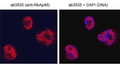 Immunocytochemistry/ Immunofluorescence - RbAp46 antibody (ab3535)