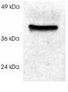 Western blot - Cyclophilin 40 antibody (ab3562)
