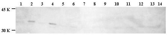 Western blot - Histone H1.4 (phospho T18) antibody (ab3595)