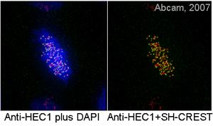 Immunofluorescence - HEC1 antibody [9G3] (ab3613)