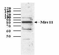 Western blot - Mre11 antibody (ab3621)