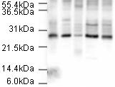 Western blot - Apc10 antibody (ab3629)
