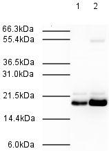 Western blot - Mad2L2 antibody (ab3630)