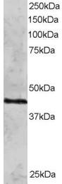 Western blot - Rad51C antibody (ab3669)