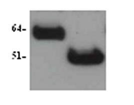 Western blot - Anti-SOX9 antibody (ab3697)