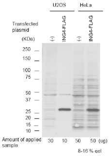 Western blot - ING4 antibody (ab3714)