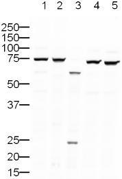 Western blot - Ku80 antibody [9403] (ab3715)