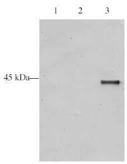 Western blot - ING5 antibody (ab3716)
