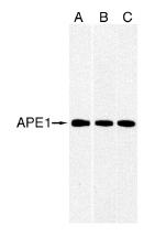 Western blot - APE1 antibody [2104] (ab3722)