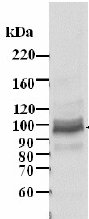 Western blot - MCM4 antibody (ab3728)