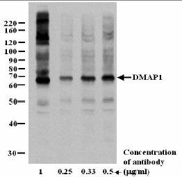 Western blot - DMAP1 antibody (ab3736)