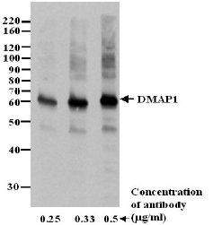 Western blot - DMAP1 antibody (ab3737)