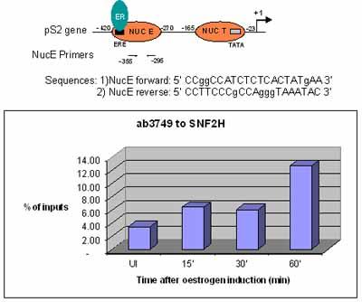 ChIP - SNF2H antibody - ChIP Grade (ab3749)