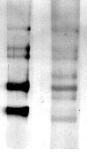 Western blot - Sumo 1 antibody (ab3819)