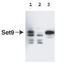 Western blot - KMT7 / SETD7/ SET7/9 antibody (ab3826)