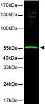 Western blot - hHR23b antibody (ab3835)