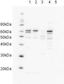 - hHR23A antibody (ab3836)