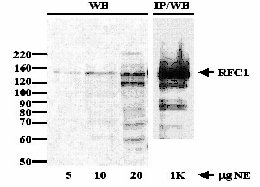 Immunoprecipitation - RFC1 antibody (ab3853)