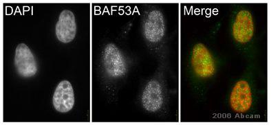Immunocytochemistry/ Immunofluorescence - BAF53A antibody - ChIP Grade (ab3882)