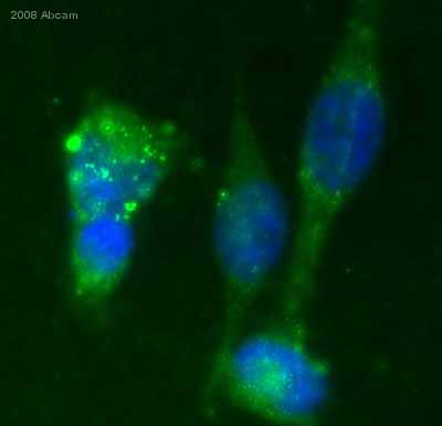Immunocytochemistry/ Immunofluorescence - Integrin alpha 2+beta 1 antibody [16B4] (ab30483)