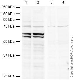 Western blot - Nac1 antibody (ab29047)