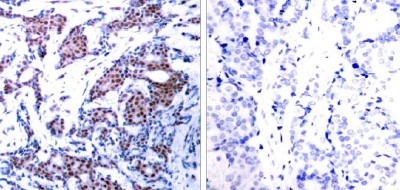 Immunohistochemistry (Paraffin-embedded sections) - c-Jun (phospho S73) antibody (ab30620)